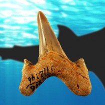 Researchers describe new large prehistoric shark