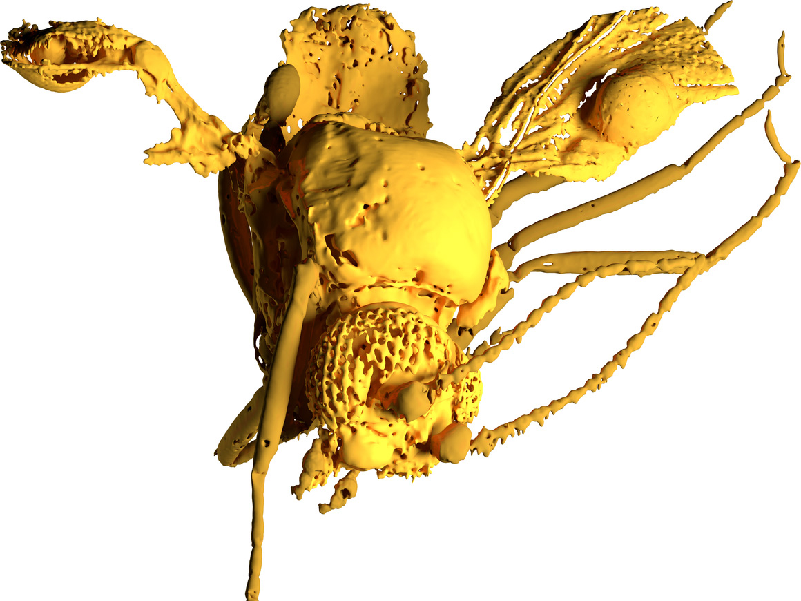 Model of the 54 million-year-old biting midge: the vesicular structure is easy to see at the front edge of the right wing. © Peter T. Rühr/ Zoological Research Museum Alexander Koenig