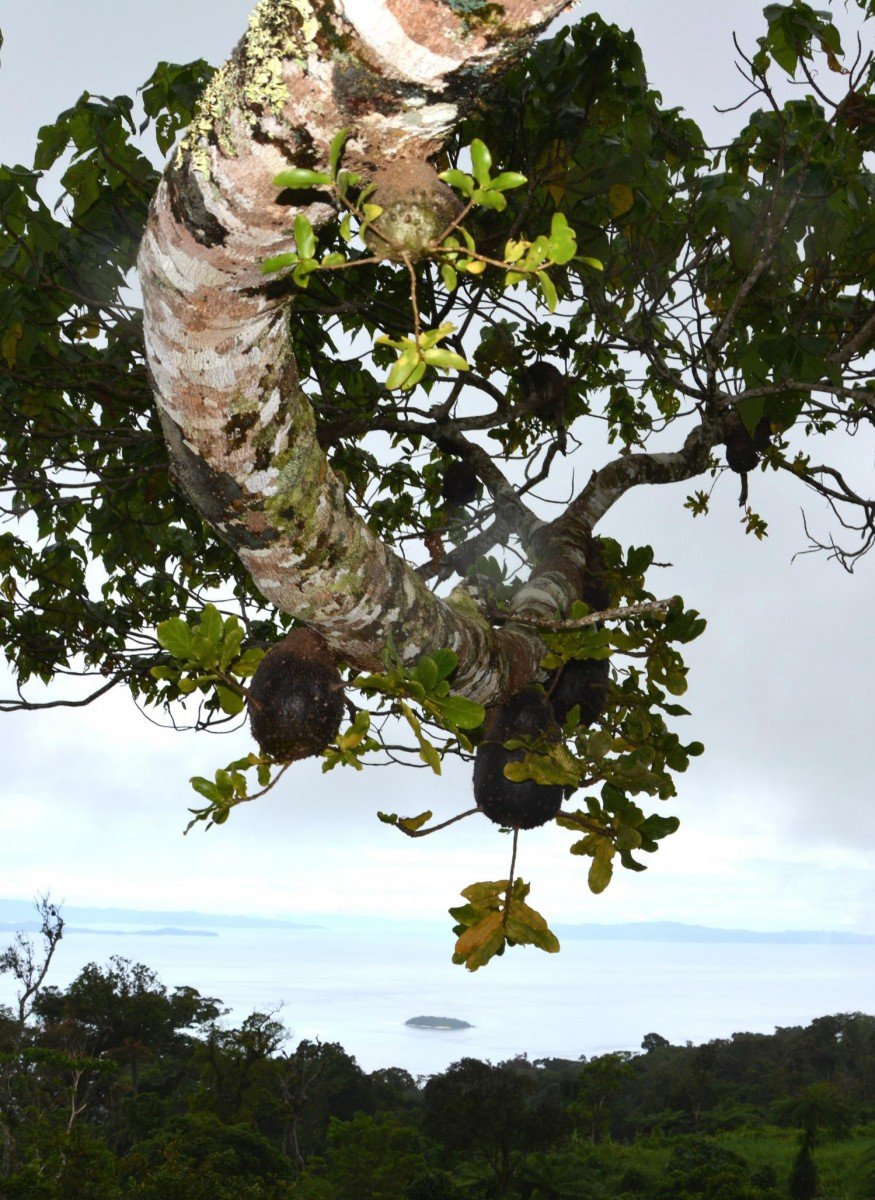 A Squamellaria 'field', up in a Macaranga tree, farmed by a colony of Philidris nagasau ants.
