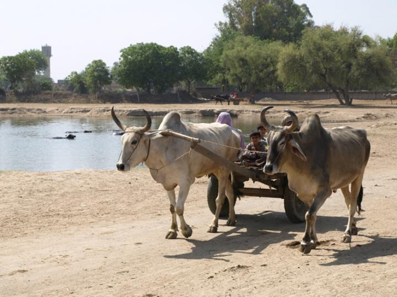 Zebu cattle pulling a wagon beside a pond at the Indus Civilisation site of Rakhigarhi in northwest India. Credit: Cameron Petrie