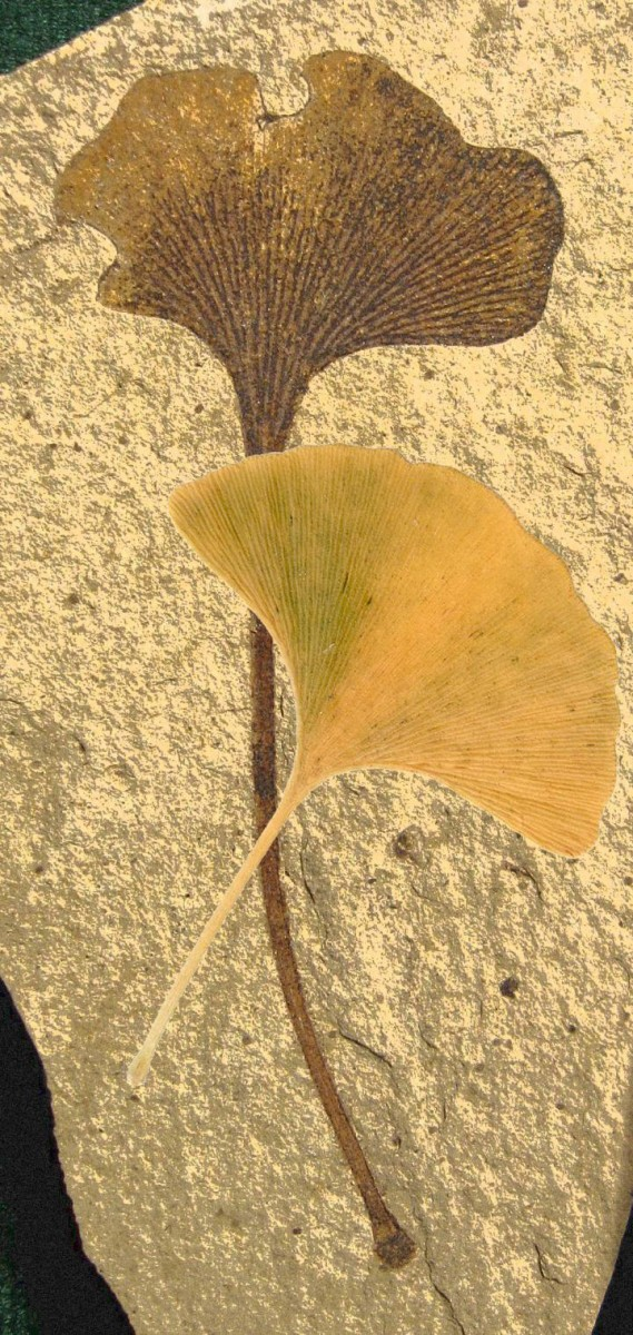 The ginkgo tree's emblematic fan-shaped leaf preserved as a 49 million year old fossil  with modern autumn leaf overlay. Credit: Fossil is from Klondike Mountain Formation,  Republic, Ferry County, Washington, USA, Eocene, Ypresian. Stonerose Interpretive Center  Collection, Modern leaf photo is by Ninjatacoshell, WikiCommons.