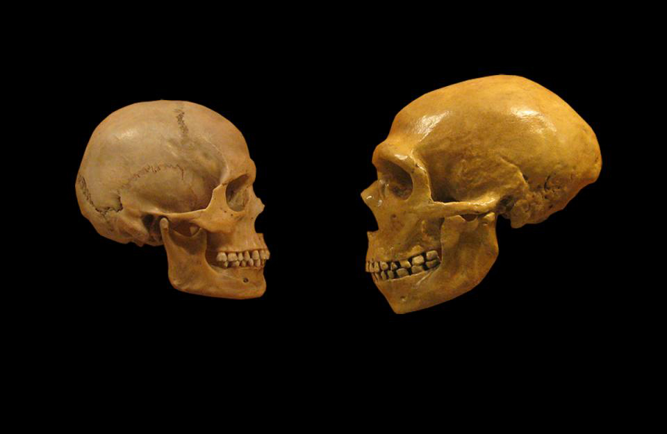 Modern humans and Neanderthals interbred tens of thousands of years ago. New work shows how the difference in population size has led to genes that survived in Neanderthals being removed from the modern human genome.  (Wikimedia Commons/DrMike Baxter)