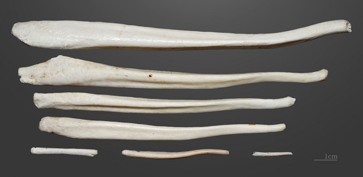 Brown bear - Penis bones. Former collection of Armand de Montlezun (1841-1914)