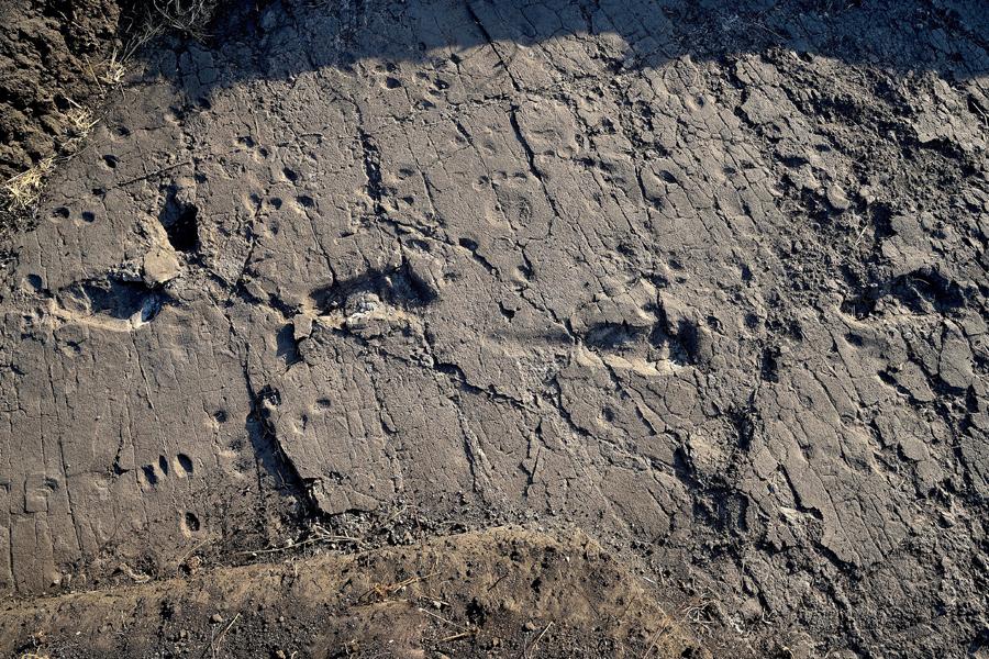 Four hominin tracks photographed at sunset in test-pit L8 at the Laetoli Site. Credit: Università di Pisa.