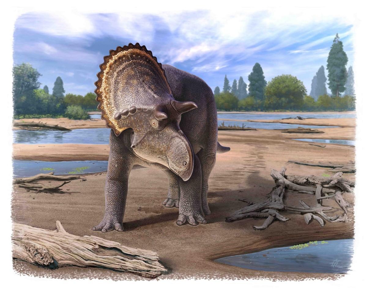 Nasutoceratops showing lack of frill ornamentation typical of the newly named Nasutoceratopsini tribe.