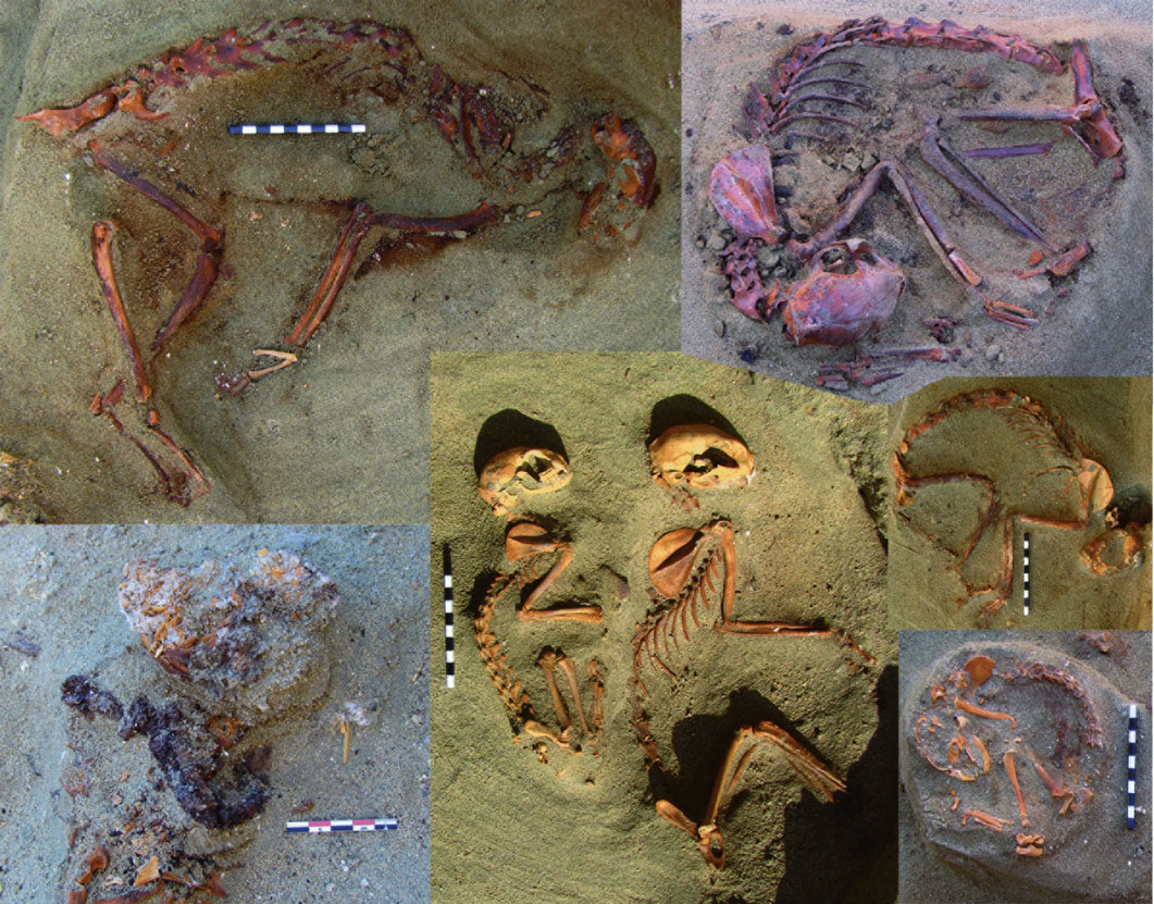 Assorted cat burials from Berenike. Photo Credit: Marta Osypinska/The History Blog.