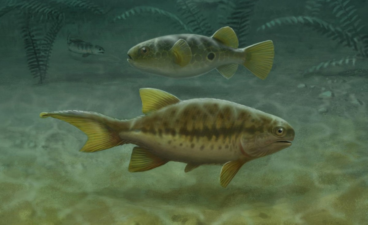 "Aetheretmon (facing right) swims in a 348-million-year-old river in Foulden, Scotland, exhibiting the ancestral state of two distinct ""tails"", fleshy tail above and caudal fin below. The 32,000 species of living teleost fishes (pufferfish, center facing left) have lost the upper tail, while early tetrapods (upper left) lost the lower caudal fin. Thus, living fish and tetrapod tails are entirely distinct structures. © John Megahan"