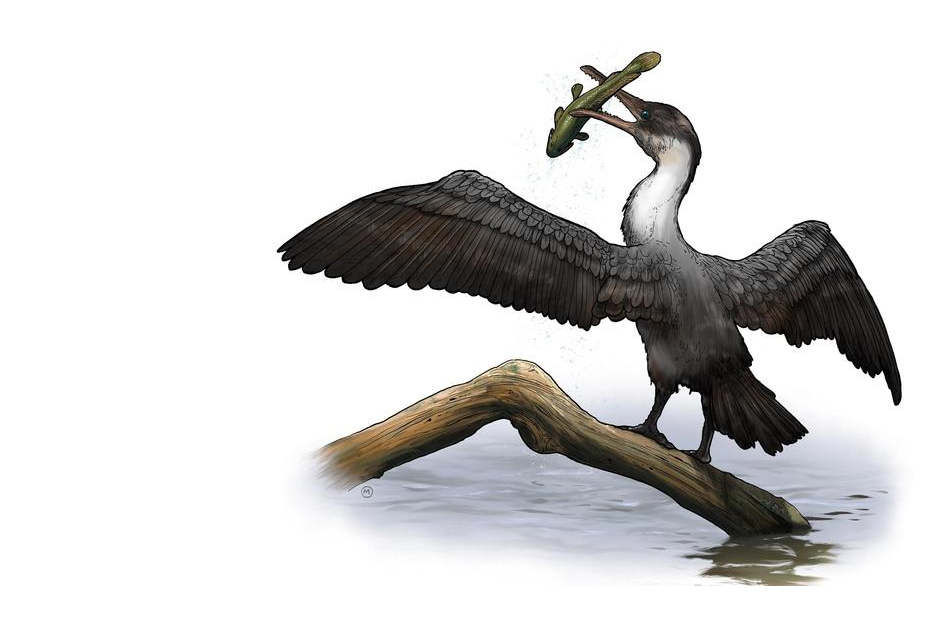 Artist's rendering of Tingmiatornis arctica, the new prehistoric bird species discovered by scientists at the University of Rochester. Credit artist rendering by Michael Osadciw/University of Rochester.