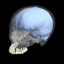 Evolution of brain and tooth size were not linked in humans