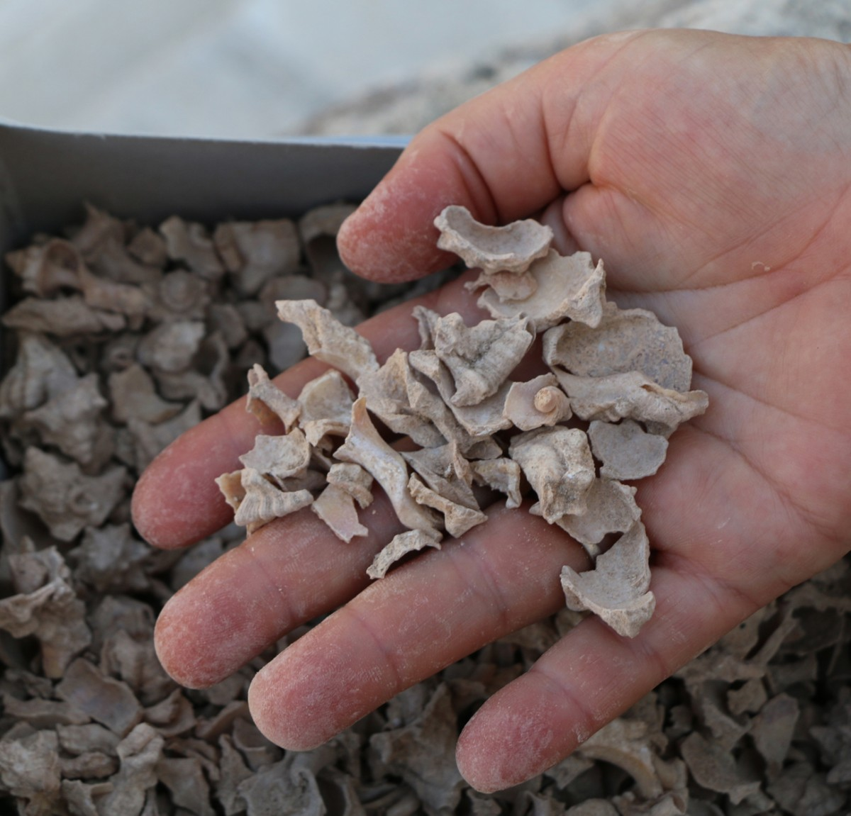 Fig. 2. Thick layer of crushed murex shells was found lying on the floor of one of the units