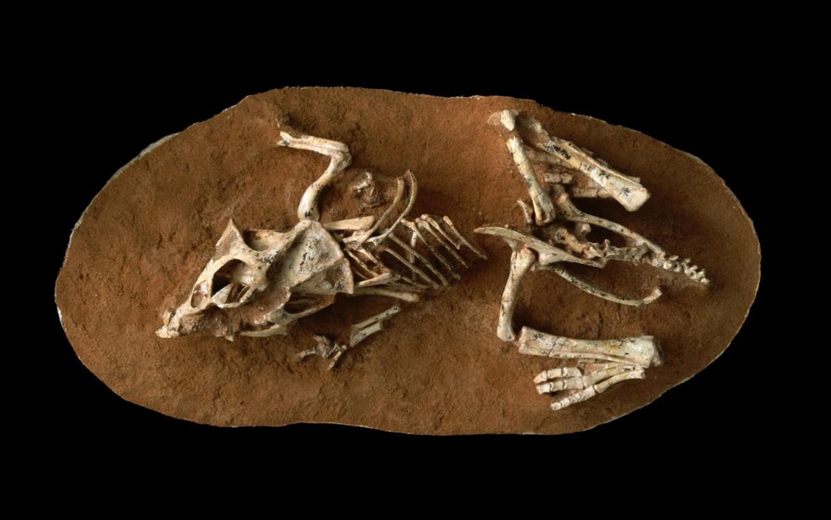 A hatchling Protoceratops Andrewsi fossil from the Gobi Desert Ukhaa Tolgod, Mongolia. Credit © AMNH/M. Ellison