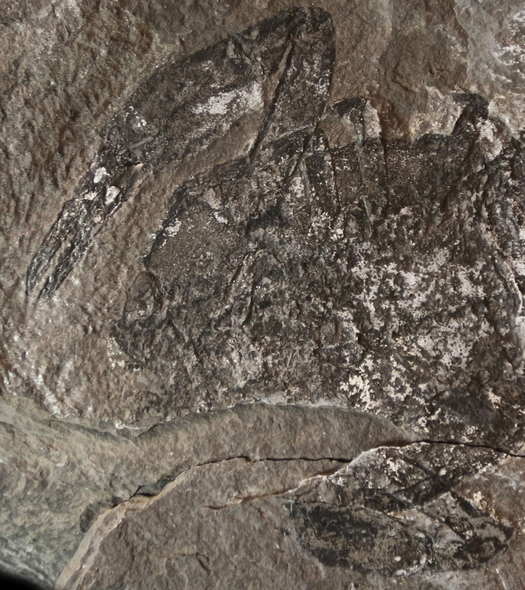 A lobster, the first fossil found by the team at Ya Ha Tinda Ranch in Alberta, Canada. Credit image: Rowan Martindale/The University of Texas at Austin Jackson School of Geosciences