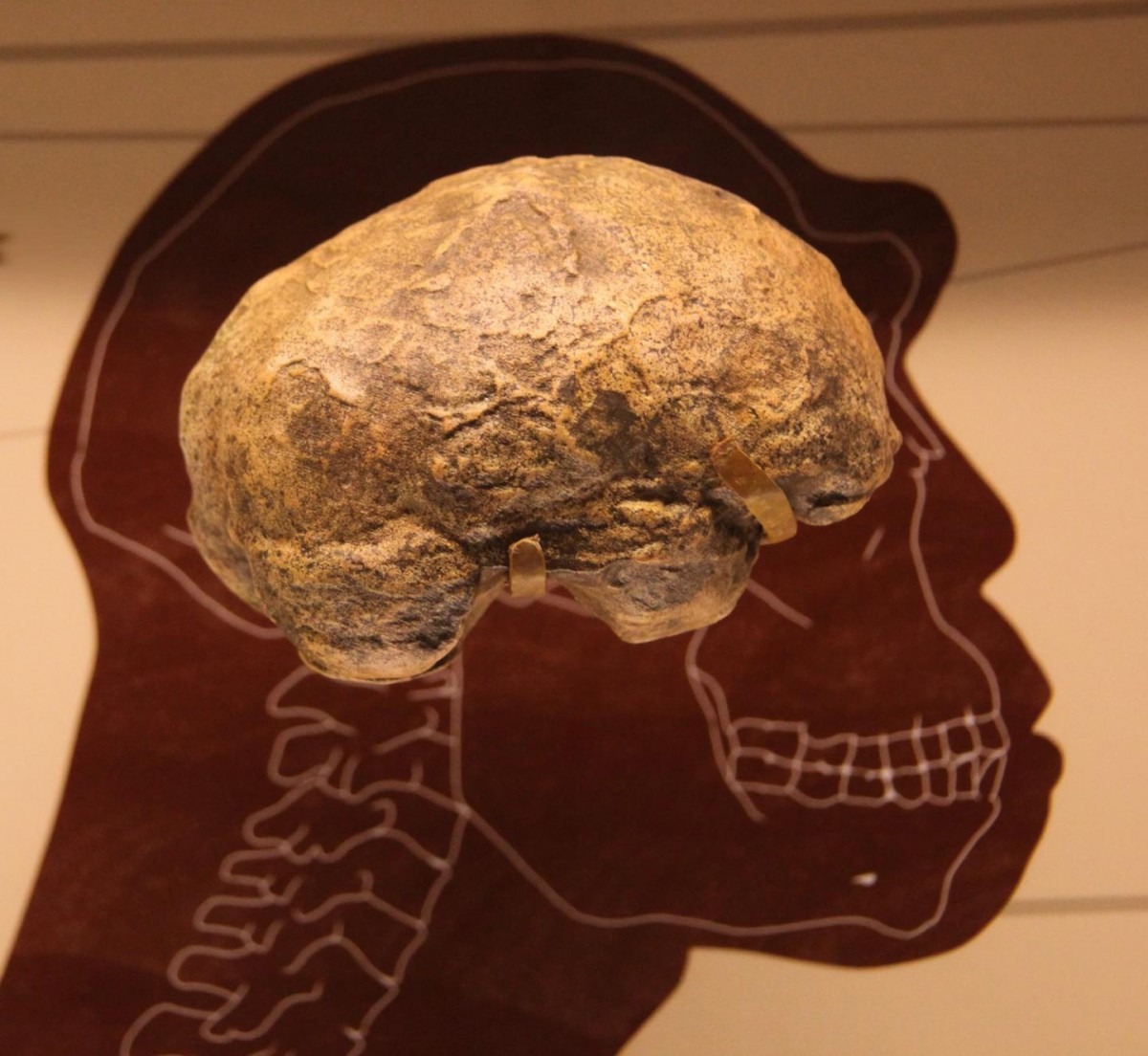 Homo erectus endocast in the Smithsonian Museum of Natural History in Washington, D.C. Under the specifications used, the authors' mathematical model recovered brain sizes matching those of H. erectus. Credit: Tim Evanson, CC-BY-SA