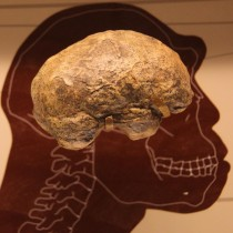 How big brains evolved could be revealed by new mathematical model