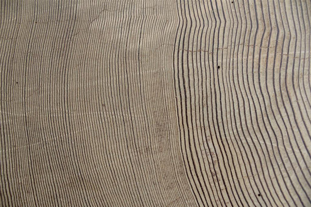 Rings of redwood. The tree began to grow in the 3rd century AD, and now is the main exhibit in the  Tree-Ring Research Laboratory at the University of Arizona. Credit: Prof. Tomasz Ważny