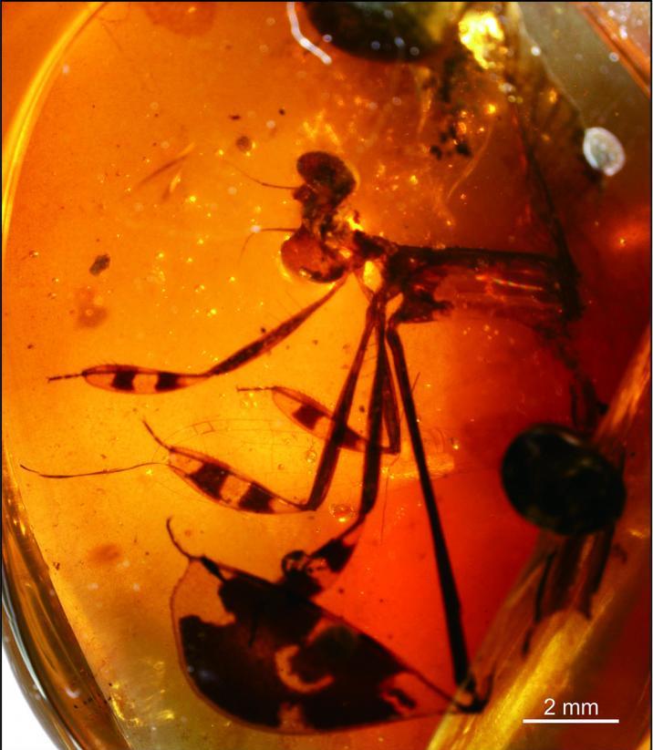 Photograph of specimen Yijenplatycnemis Huangi. Credit image by Zheng Daran.