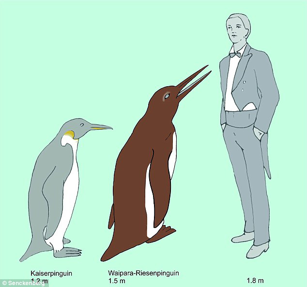 The Waipara giant penguin compared to an Emperor Penguin (the largest extant penguin species) and a human. Credit: Senckenberg Gesellschaft für Naturforschung (Senckenberg Nature Research Society)