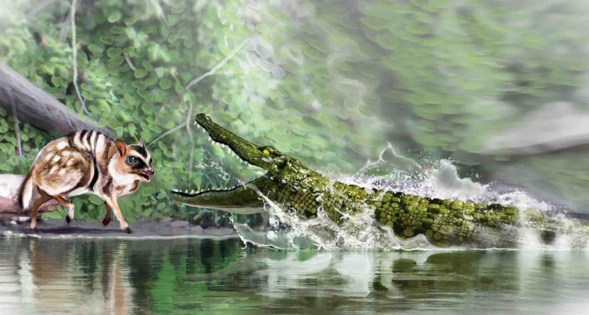 Diplocynodon ratelii, which is very similar in appearance to today's caimans, stalked small prey, such as rodents and other extinct fish. Credit: José Antonio Peñas (SINC)