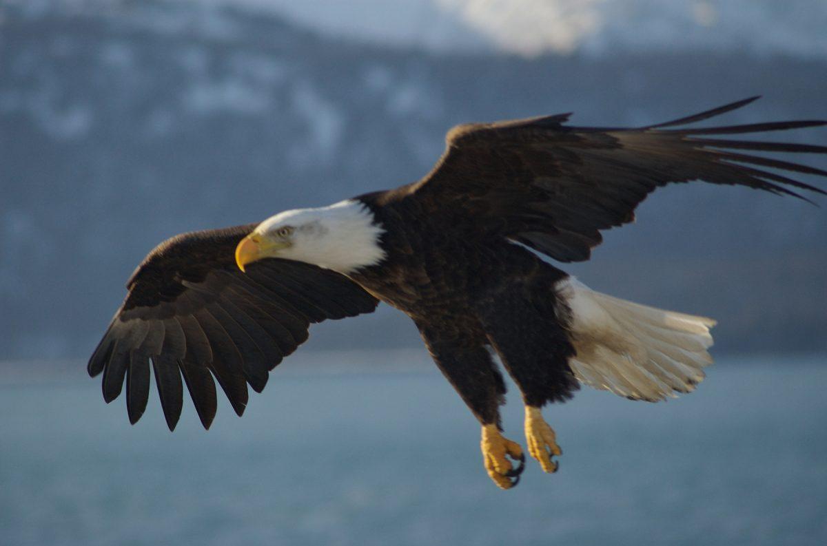 Bald Eagle, Alaska.