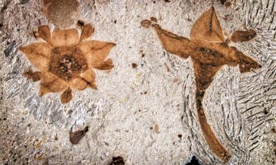 Two fossilized flowers next to each were discovered in shales of the Salamanca Formation in Chubut Province, Patagonia, Argentina. Credit: Nathan Jud, Cornell University