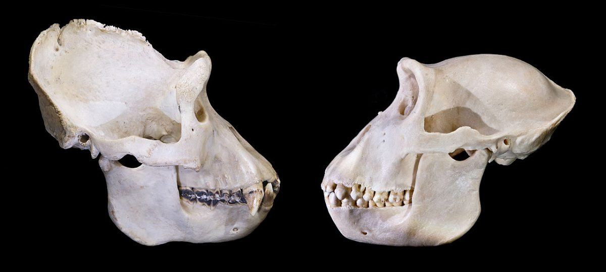 Gorillas: Sexual dimorphism of the skull: adult male left, female right.