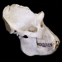 Study could provide first clues about the social lives of extinct human relatives