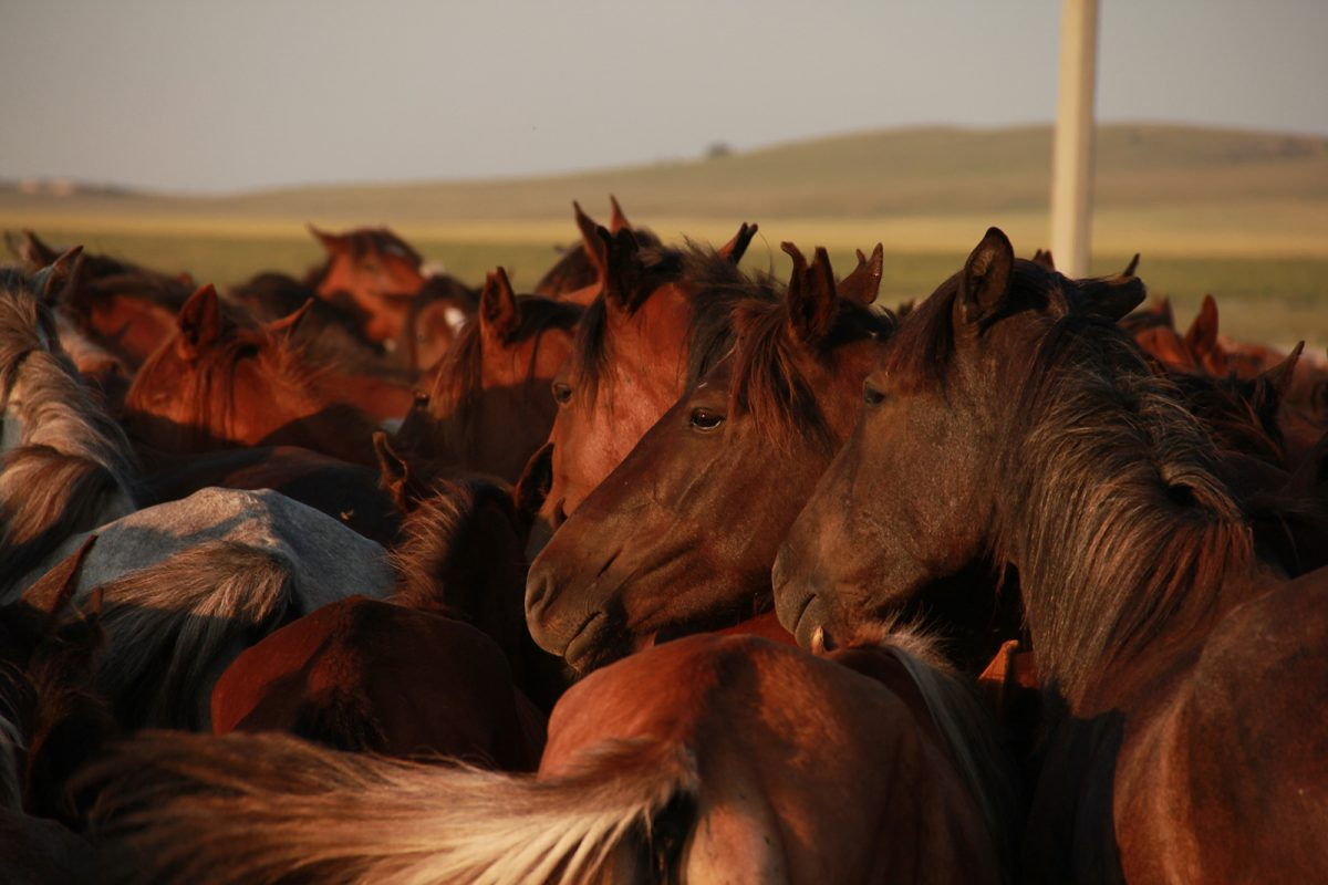 Kazakh horses, North Central Kazakhstan. (Copyright: Ludovic Orlando, Natural History Museum of Denmark & CNRS)