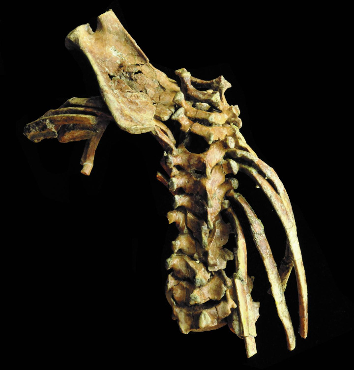 Selam, possesses the most complete spinal column of any early fossil human relative, and her vertebral bones, neck and rib cage are mainly intact. Credit: Zeray Alemseged, University of Chicago