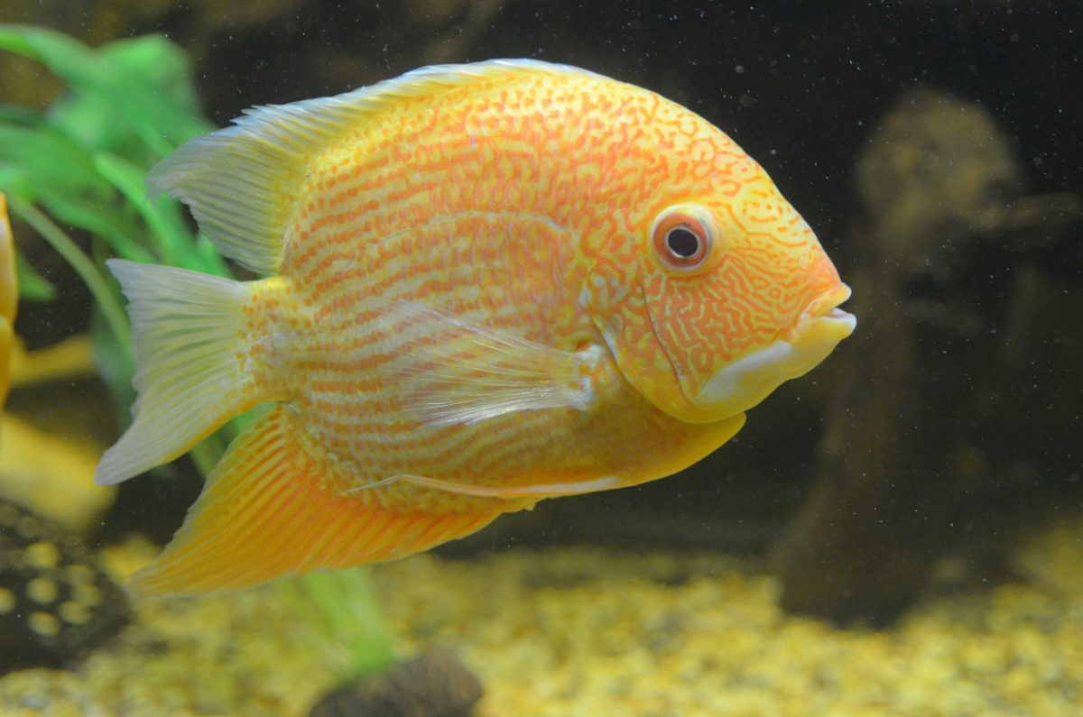 Example of a cichlid.