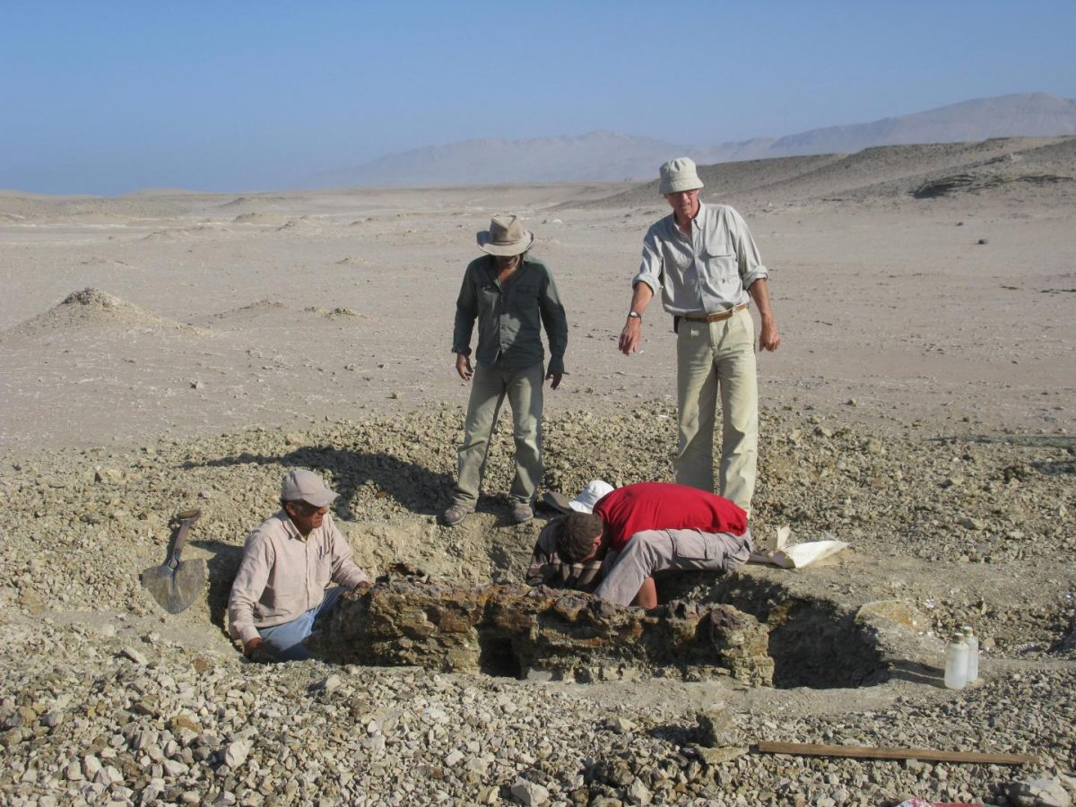 Members of the excavation team digging around the skeleton of  Mystacodon selenensis at the Media Luna locality in the Pisco Basin, Peru. Credit: Giovanni Bianucci