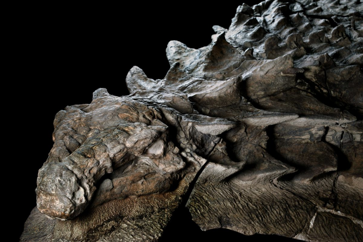Nodosaur, The centrepiece of the exhibit is a new species of dinosaur discovered at the Suncor Millennium Mine near Fort McMurray in 2011.
