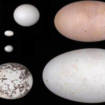 How eggs got their shapes