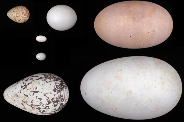 The evolution of the amniotic egg — complete with membrane and shell — was key to vertebrates leaving the oceans and colonizing the land and air. Image credit: Harvard Museum of Comparative Zoology