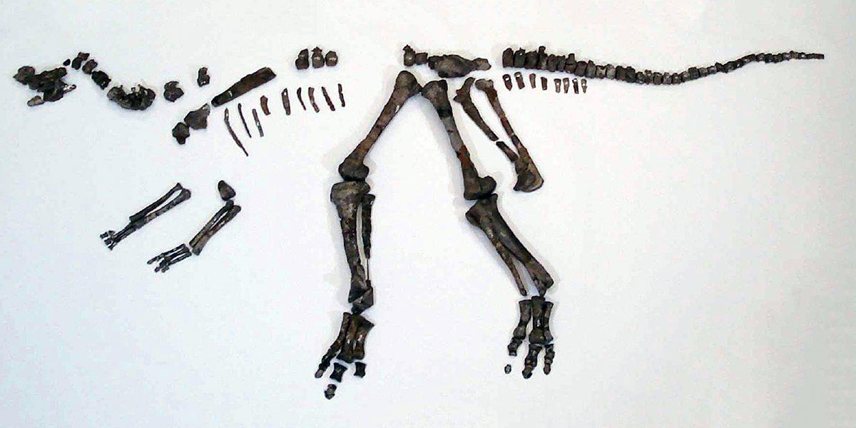 The complete skeleton of Nipponosaurus sachalinensis kept at the Hokkaido University Museum.