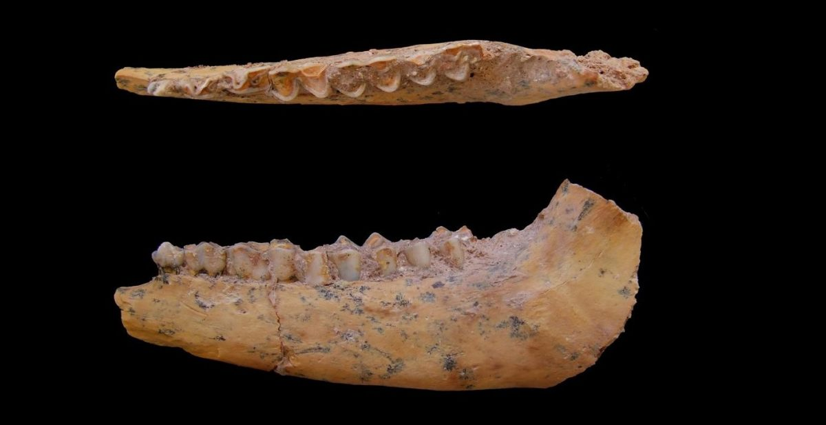 Jaw bone of a gazelle from Jebel Irhoud, Morocco. The site contains the oldest-known skeletons of modern humans. UC Davis anthropologist Teresa Steele studied animal bones from the site, showing that our ancestors ate lots of gazelle and other game as well as ostrich eggs. (Teresa Steele/UC Davis photo)