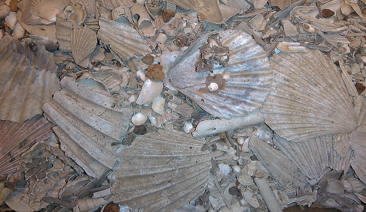 Shells from muddy sediment collected on the western Palos Verdes shelf off the coast of southern California. The shells are from the scallop Chlamys hastata . Courtesy ofProf. Susan Kidwell