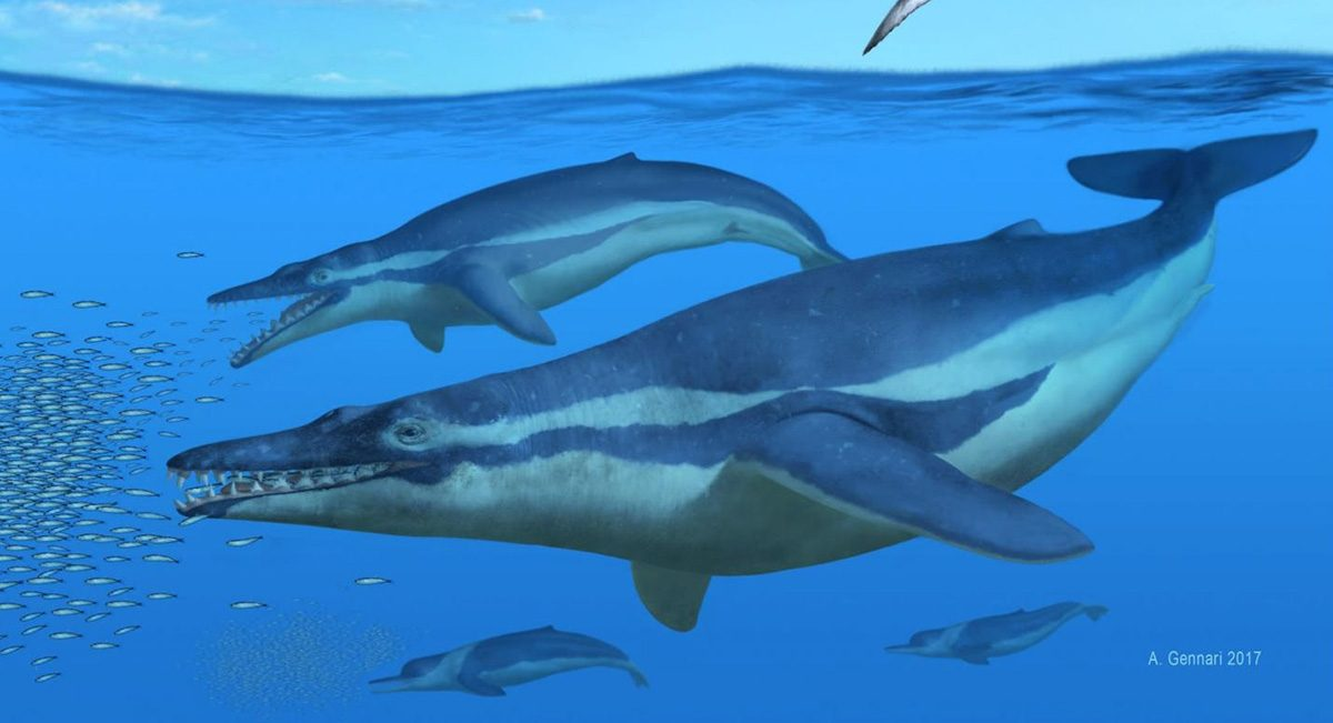 The blue whale is the largest animal that has ever lived. And yet they feed almost exclusively on tiny crustaceans known as krill. Credit: Alberto Gennari