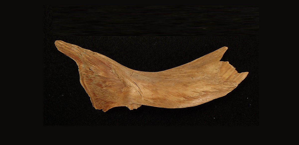 One of the ancient Viking cod bones used in the study. The bones, dating from between 800 to 1066 AD, were found on the site of the early medieval Baltic port of Haithabu. Credit: Dr. James Barrett.