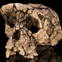New study suggests that last common ancestor of humans and apes was smaller than thought