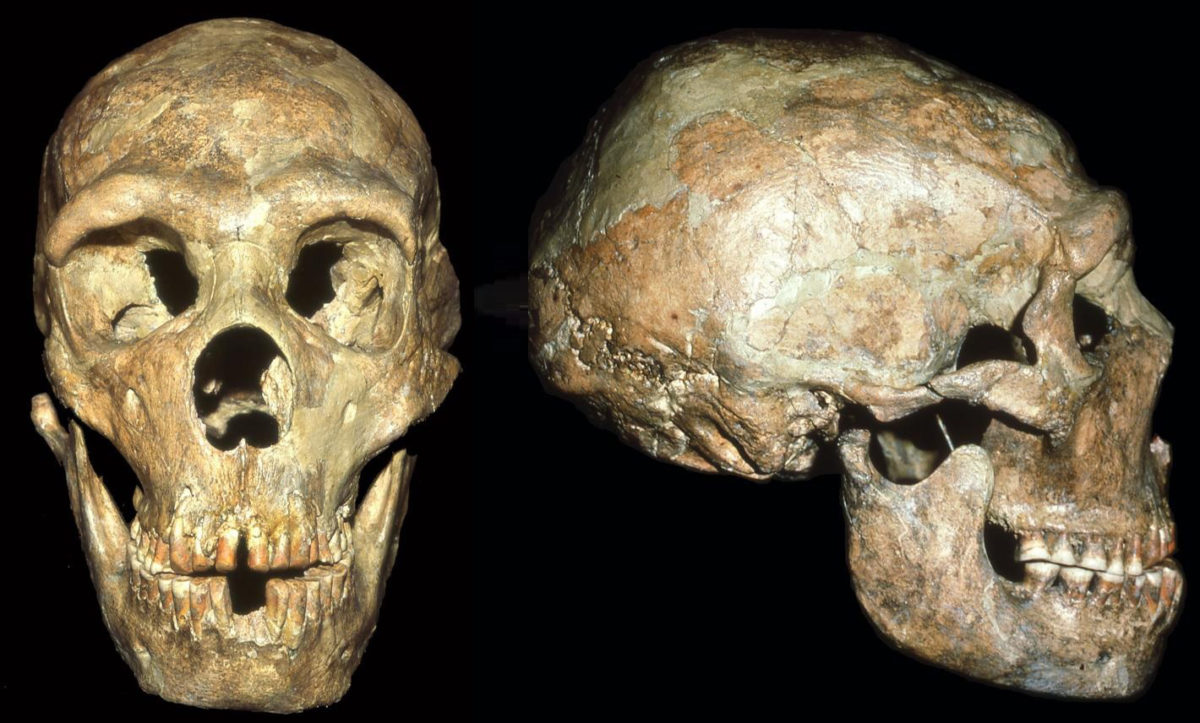 The skull of a Neandertal known as Shanidar 1 shows signs of a blow to the head received at an Early Age. Credit: Erik Trinkaus