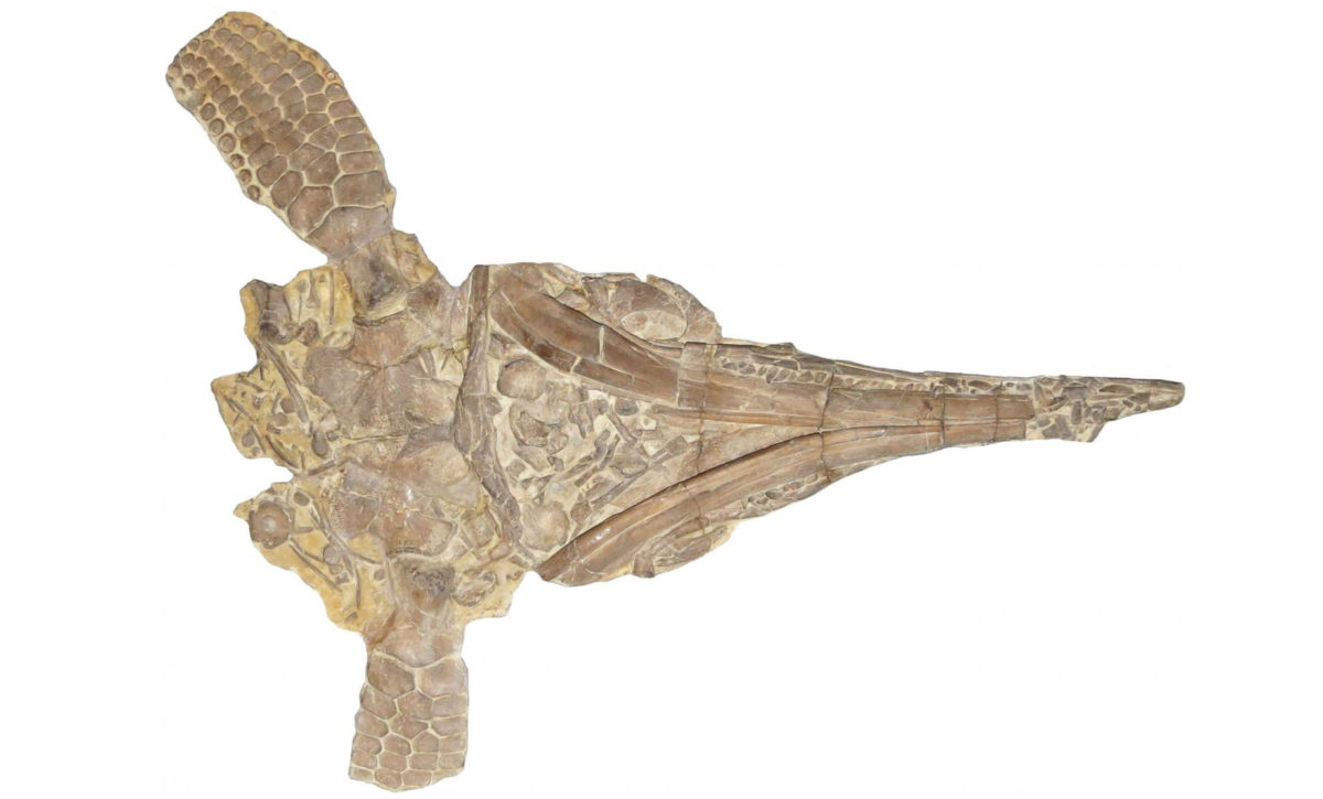 One of the original skeletons of Protoichtyosaurus described by Dr. Robert Appleby in 1979 © National Museum of Wales – Dean R. Lomax