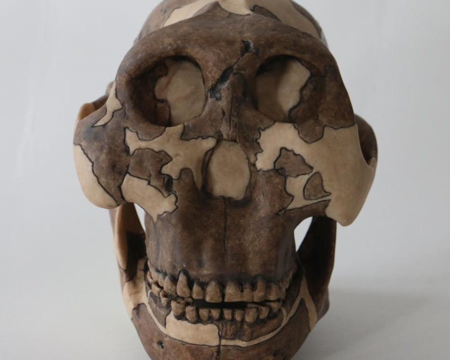 This is a cast of a P. Boisei skull, used for teaching at Cambridge University. Credit: Louise Walsh