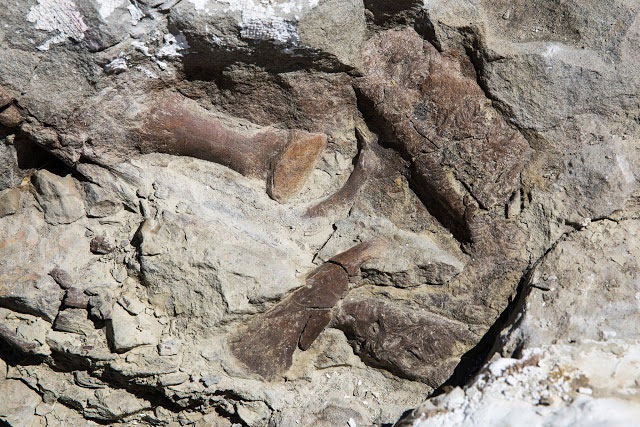Toe bones, the upper jaw and snout of the fossilized remains of a tyrannosaur skeleton found in Grand Staircase Escalante  National Monument. The skeleton is the most complete of its kind found in the Southwest United States  [Credit: Mark Johnston/NHMU]