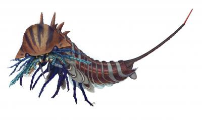 Artistic reconstruction of Habelia optata. Habelia is thought to have been an active predator, eating small animals with hard carapaces, such as trilobites. Credit: Courtesy of Joanna Liang. Copyright: Royal Ontario Museum