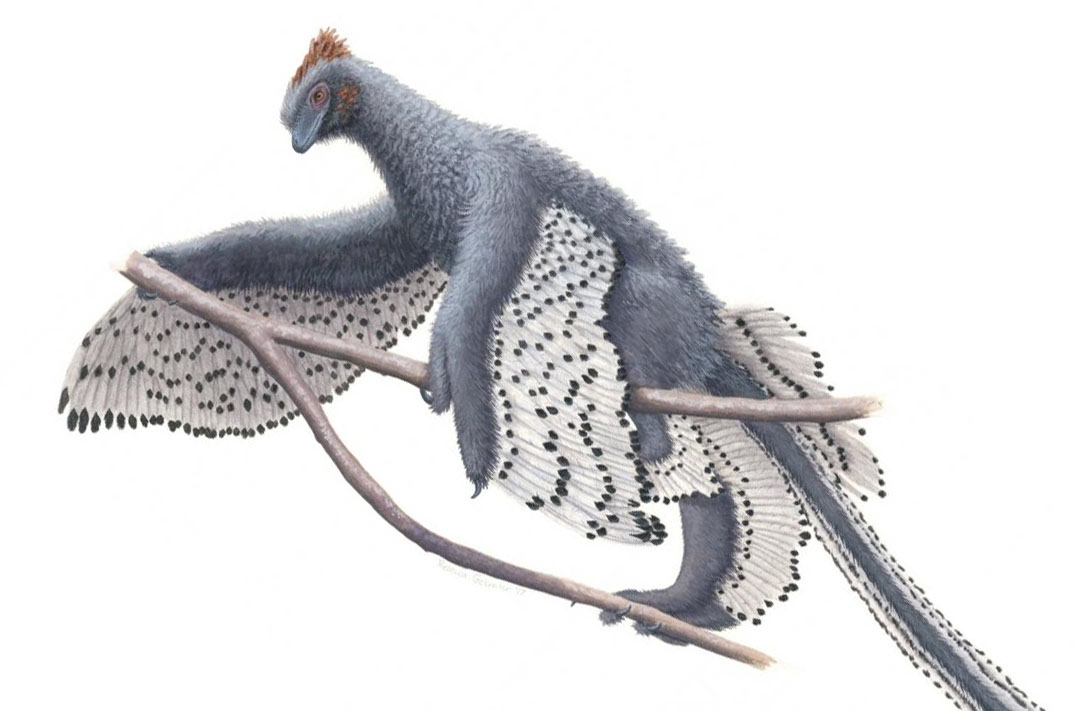 A new depiction of Anchiornis and its contour feather. Credit: Rebecca Gelernter