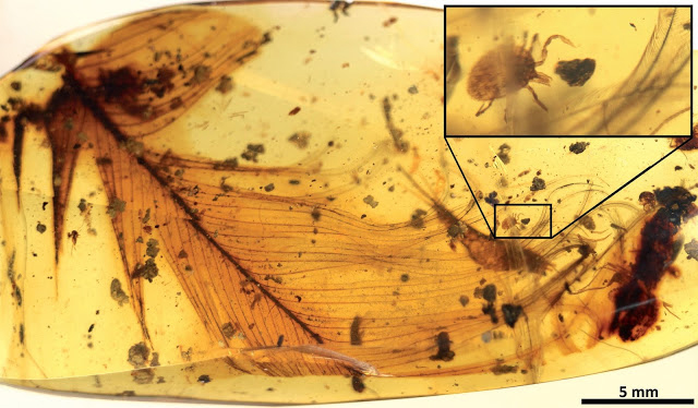 Hard tick grasping a dinosaur feather preserved in 99 million-year-old Burmese amber. Modified from the open access  article published in Nature Communications: 'Ticks parasitised feathered dinosaurs as revealed by  Cretaceous amber assemblages'. Credit: E. Peñalver et al.