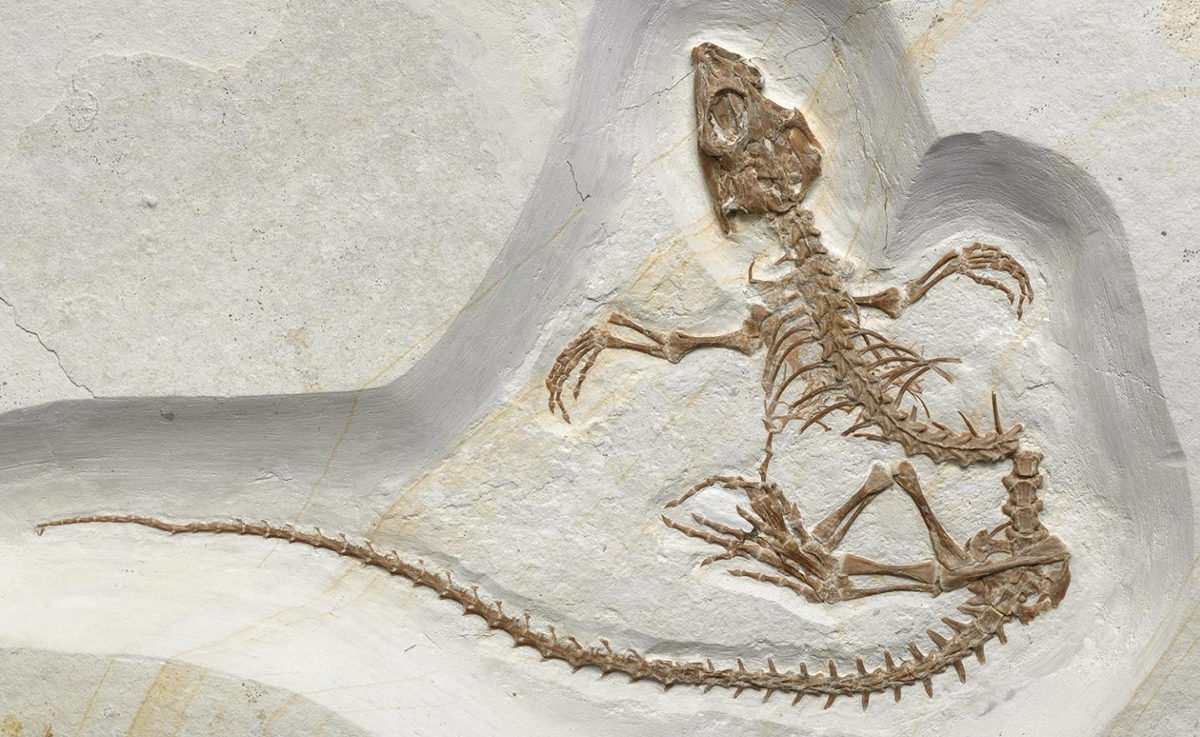 This is a Vadasaurus Herzogi fossil. Credit: Mick Ellison used with permission from the American Museum of Natural History.