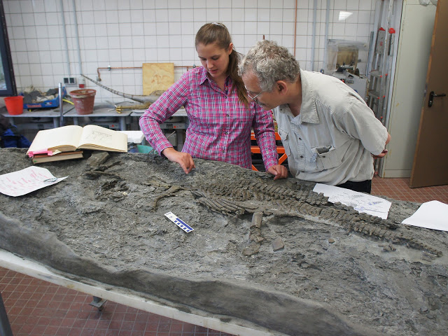 Paleontologists Tanja Wintrich and Martin Sander from the University of Bonn inspect the skeleton of  Rhaeticosaurus in the laboratory of the LWL-Museum für Naturkunde  in Münster (Germany). Credit: Yasuhisa Nakajima