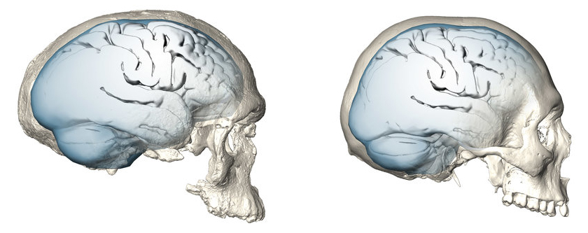 Brain shape evolution in Homo sapiens. © MPI EVA/ S. Neubauer, Ph. Gunz (License: CC-BY-SA 4.0)