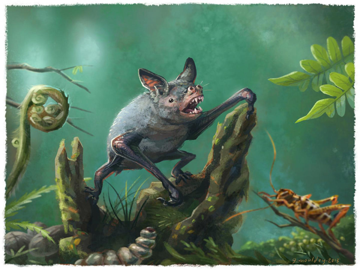 An artist's impression of a New Zealand burrowing bat, Mystacina robusta, that went extinct last century. The new fossil find, Vulcanops jennyworthyae, that lived millions of years ago in New Zealand, is an ancient relative of burrowing or short-tailed bats. Credit: Illustration by Gavin Mouldey.
